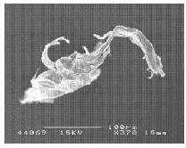 Microfibres de coton hydrophile