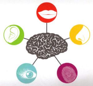 cerveau sens