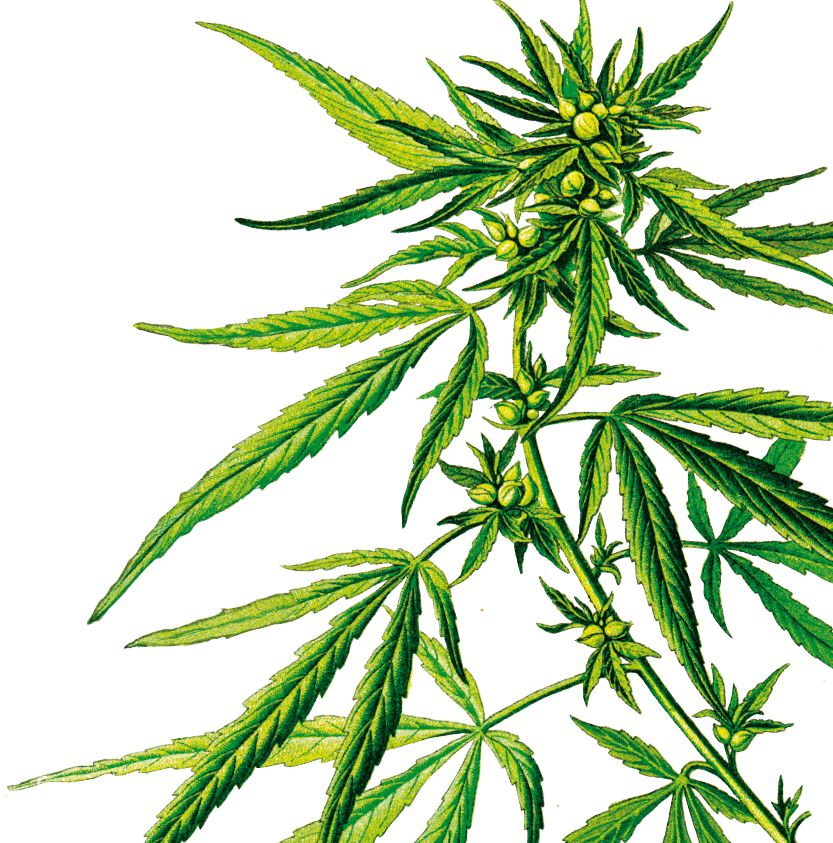 asud55 p09 Plante cannabis